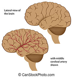 Brain lateral view, - Lateral view of the brain with blood...