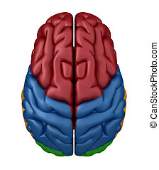 Superior view of the Brain - Color coded lobes