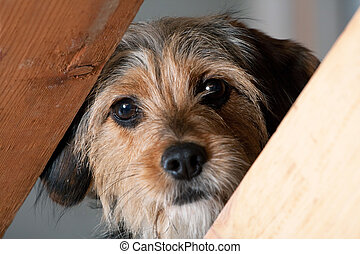 Borkie Dog Peeking Through a Gap - A young mixed breed pup...