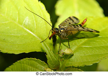 Common Scorpionfly Panorpa communis - female on a leaf