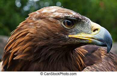 Golden Profile - Profile head photo of a golden eagle
