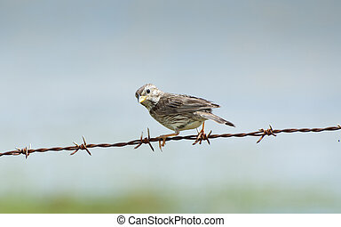 Corn Bunting - A Corn Bunting watching from above on a bush...