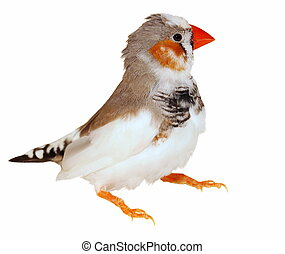 Zebra Finch isolated on white , Taeniopygia guttata,