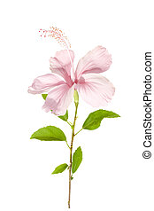 Pink hibiscus flower with foliage in sunlight