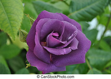 purple rose bud - deep purple rose bud