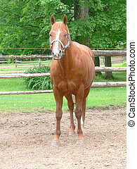 chestnut pony with electric fence - full frontal image of...