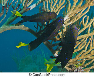 Yellowtail Damselfish on a reef, picture taken in south east...