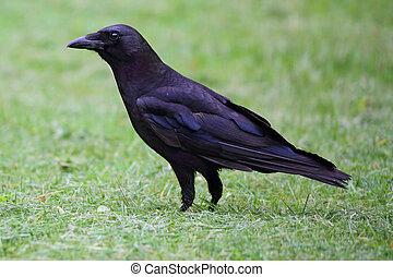 American Crow (Corvus brachyrhynchos) in a grassy field