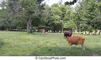 Cows In The Pasture - Today was hot and humid They didnt see...