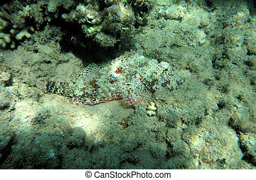 Scorpion fish at the Red Sea coral reef