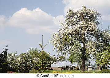 Flowering tree - Spring scenic with a flowering tree