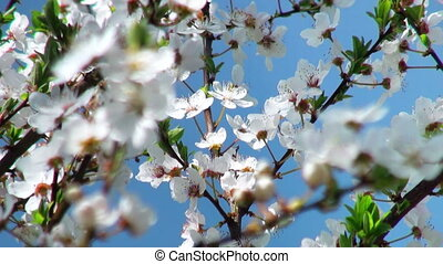 flowers cherry tree, focus to the foreground