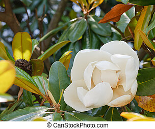 White Magnolia Blossom in Full Bloom - A white blossom in a...