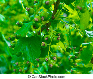 Green clusters of a currant
