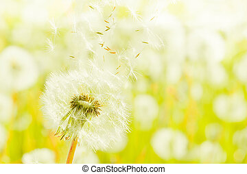 Charm of summer - White dandelions on a summer solar meadow