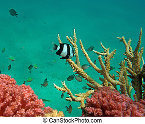 White-tail dascyllus and Chromis viridis of the red sea...