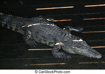 Crocodille - Tonle Sap, Cambodia