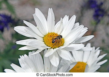 bee sucking nectar from a white daisy