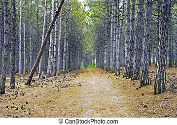 Pinewood - Pine forest in the spring
