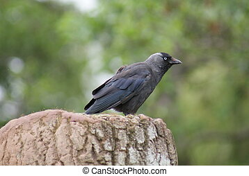 Jackdaw - Corvus monedula