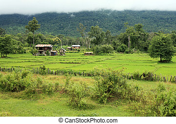 Rice Fields - Laos - Rice Fields at Bolaven Plateau in...