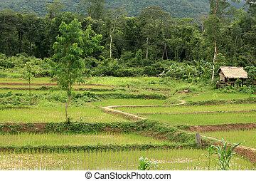Rice Fields - Laos