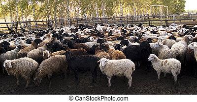 rebanho, ovelhas