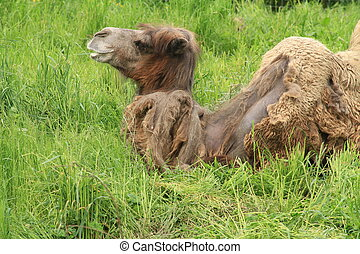 Bactrian Camel 2 - A really ugly Camel resting in tall grass...