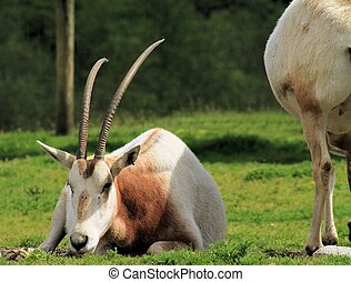 African Impala - A graceful looking African Impala relaxing...