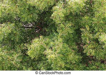 Neem tree (azadirachta indica) - top view
