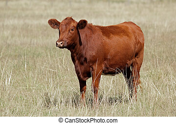 Red angus cow on pasture