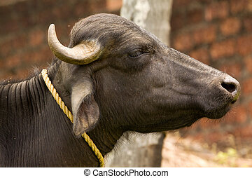 indian water buffalo in profile - Indian water buffalo in...