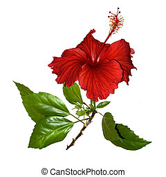 Tropical red hibiscus flower isolated - Tropical red...