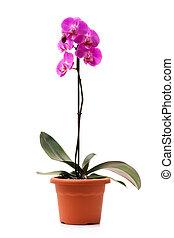 rosa, orquídea, (Phalaenopsis), maceta, aislado,...