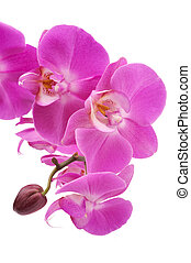 Pink orchid Phalaenopsis flowers, isolated, white background...