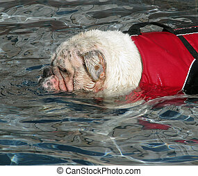 English bulldog wearing a lifevest swimming.