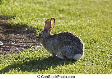 Backlit Cottontail - a cottontail rabbit in green grass...