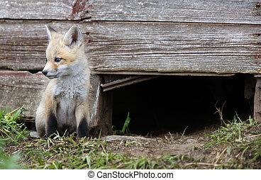 Fox Kits at play near den in Saskatchewan