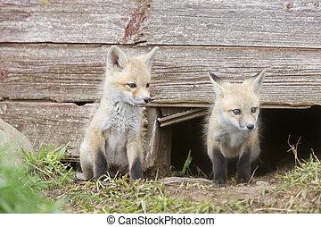Fox Kits at play near den in Saskatchewan