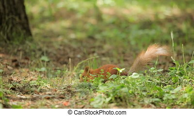 Curious squirrel - Chestnut forest squirrel runs along the...