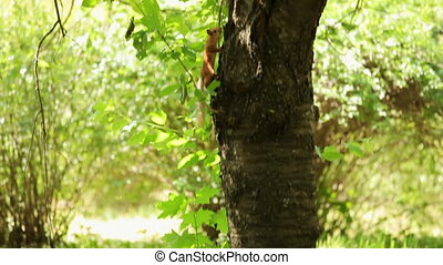 Funny animals - Chestnut forest squirrel climbs a tree
