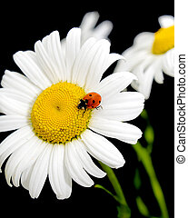 ladybug sits on a flower daisies on black background