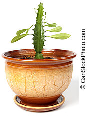 Cactus with leaves in big flowerpot - Cactus with leaves in...