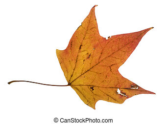 colorful leaf - autumn leaf that has turned orange and...