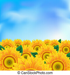 Background with sunflower - Background with a field of...