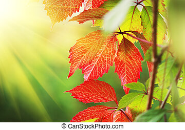 Beautiful red autumn leaves in sunshine