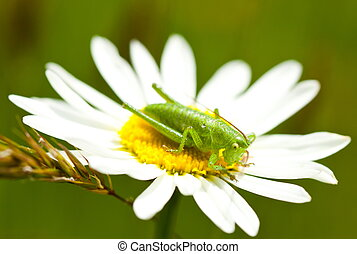 Cricket - Macro of a cricket sitting on a daisy