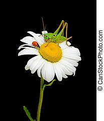 ladybug and grasshopper sitting on a flower daisies