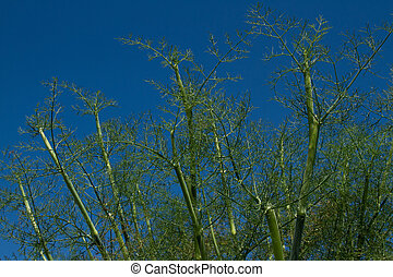 Fennel - Stems and fronds of wild fennel, Foeniculum...