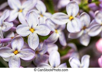 lilás, flores, hdr, macro